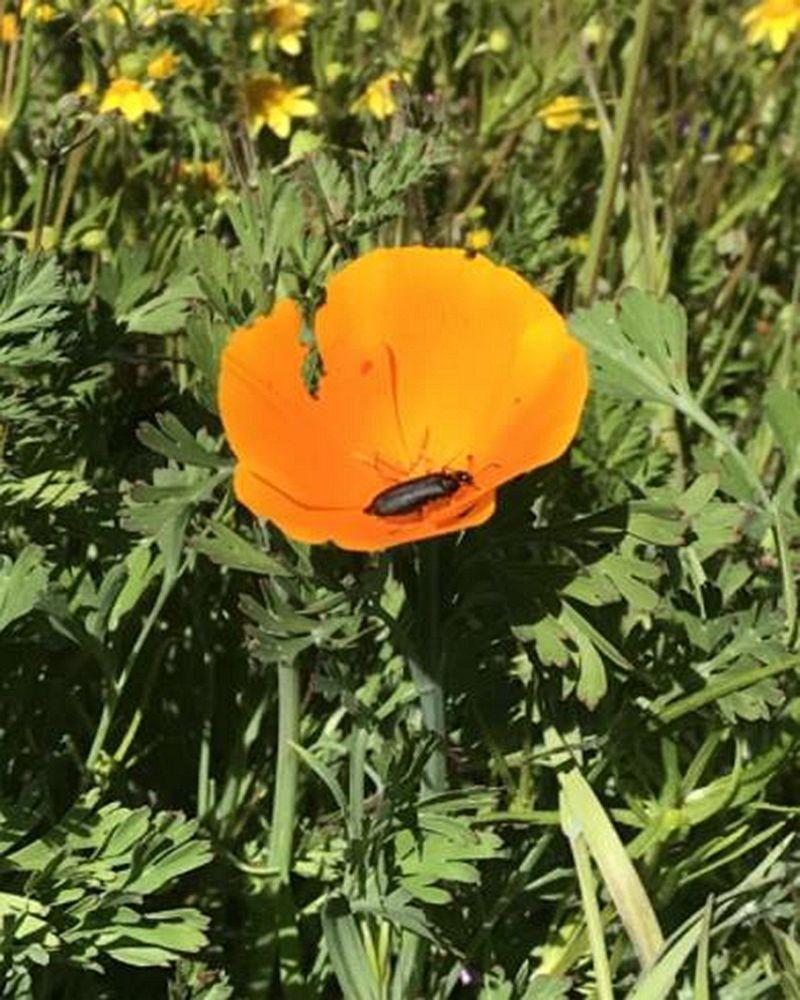 加州罂粟花海_图1-8