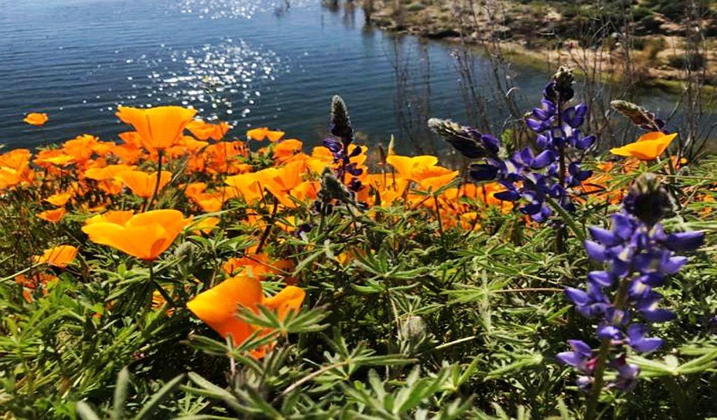 加州罂粟花海_图1-12