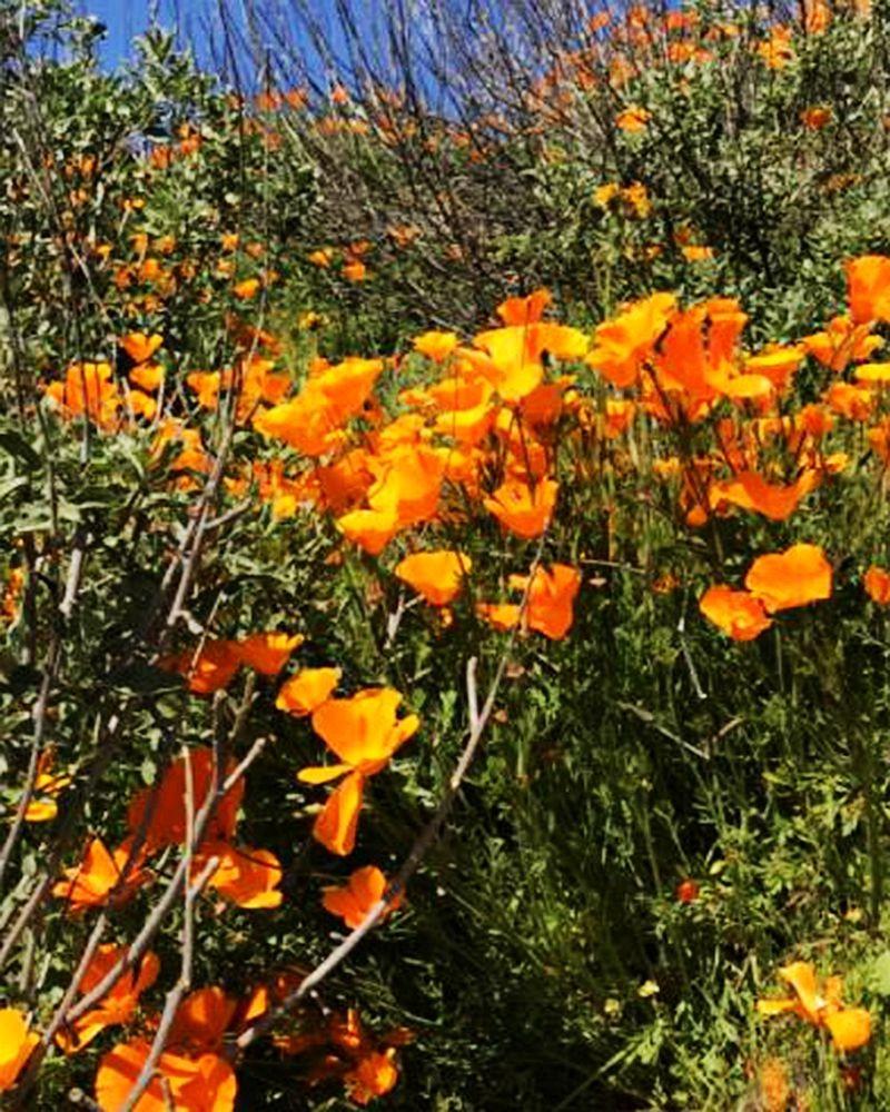 加州罂粟花海_图1-10