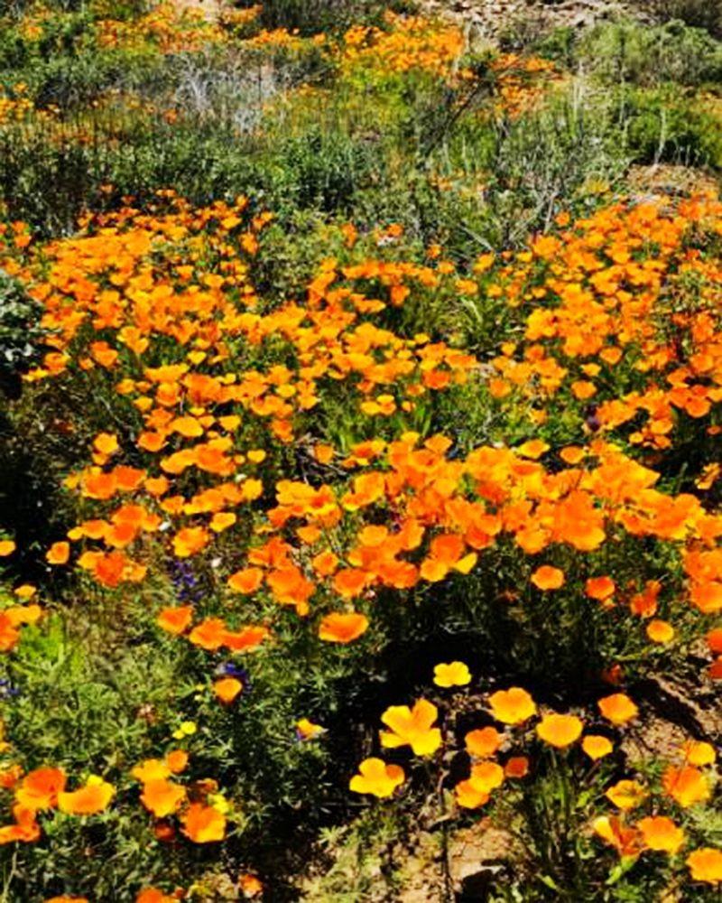 加州罂粟花海_图1-20