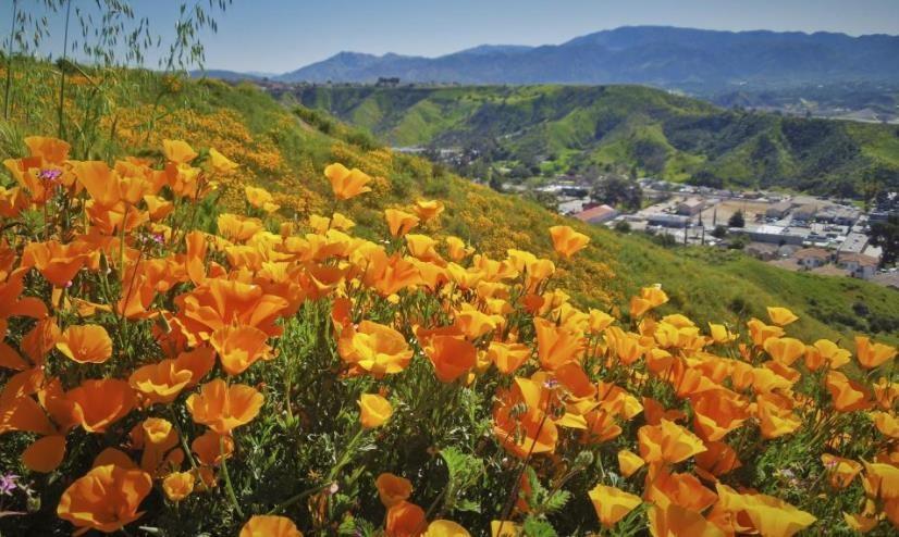 加州罂粟花海_图1-25