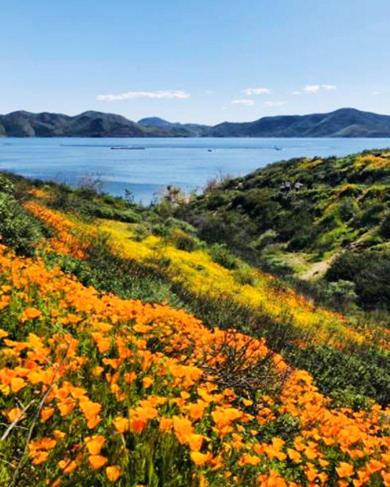 加州罂粟花海_图1-28