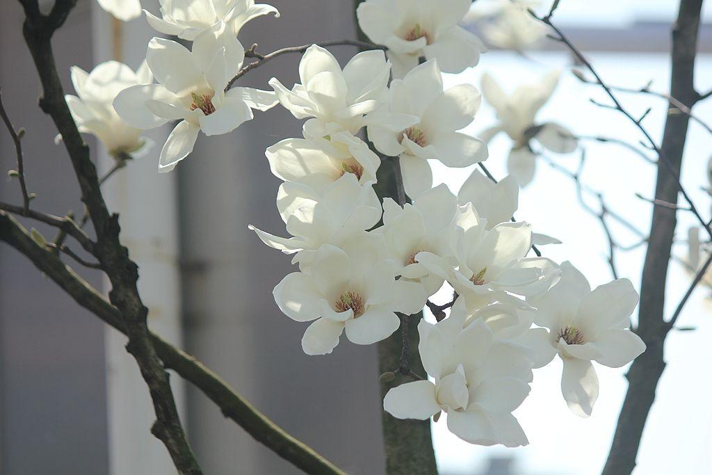 玉兰花开又一春_图1-9