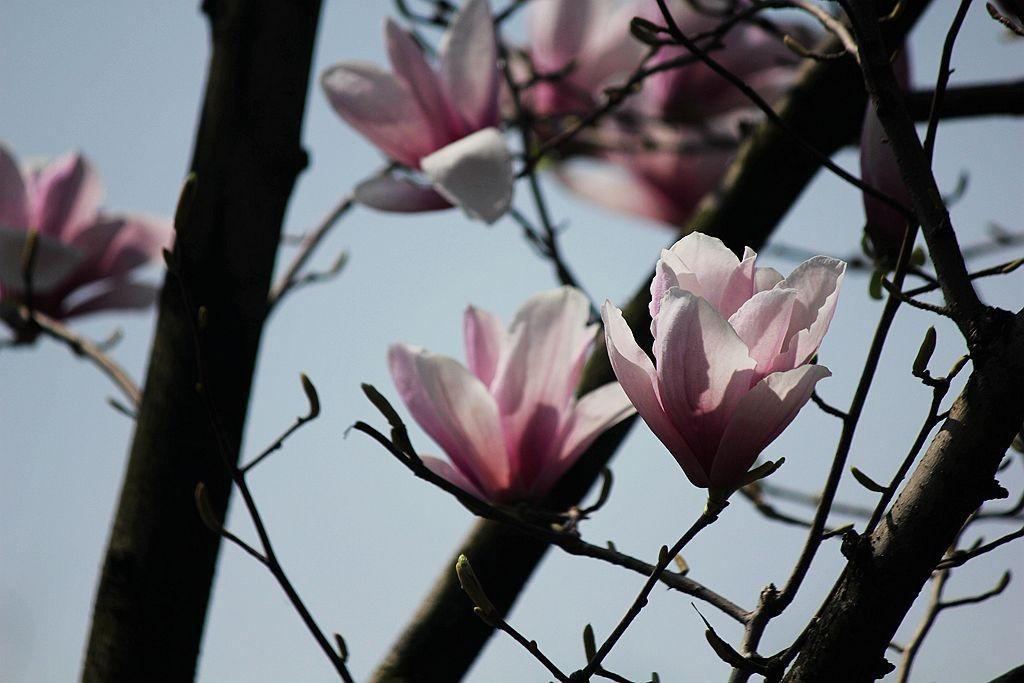 玉兰花开又一春_图1-16