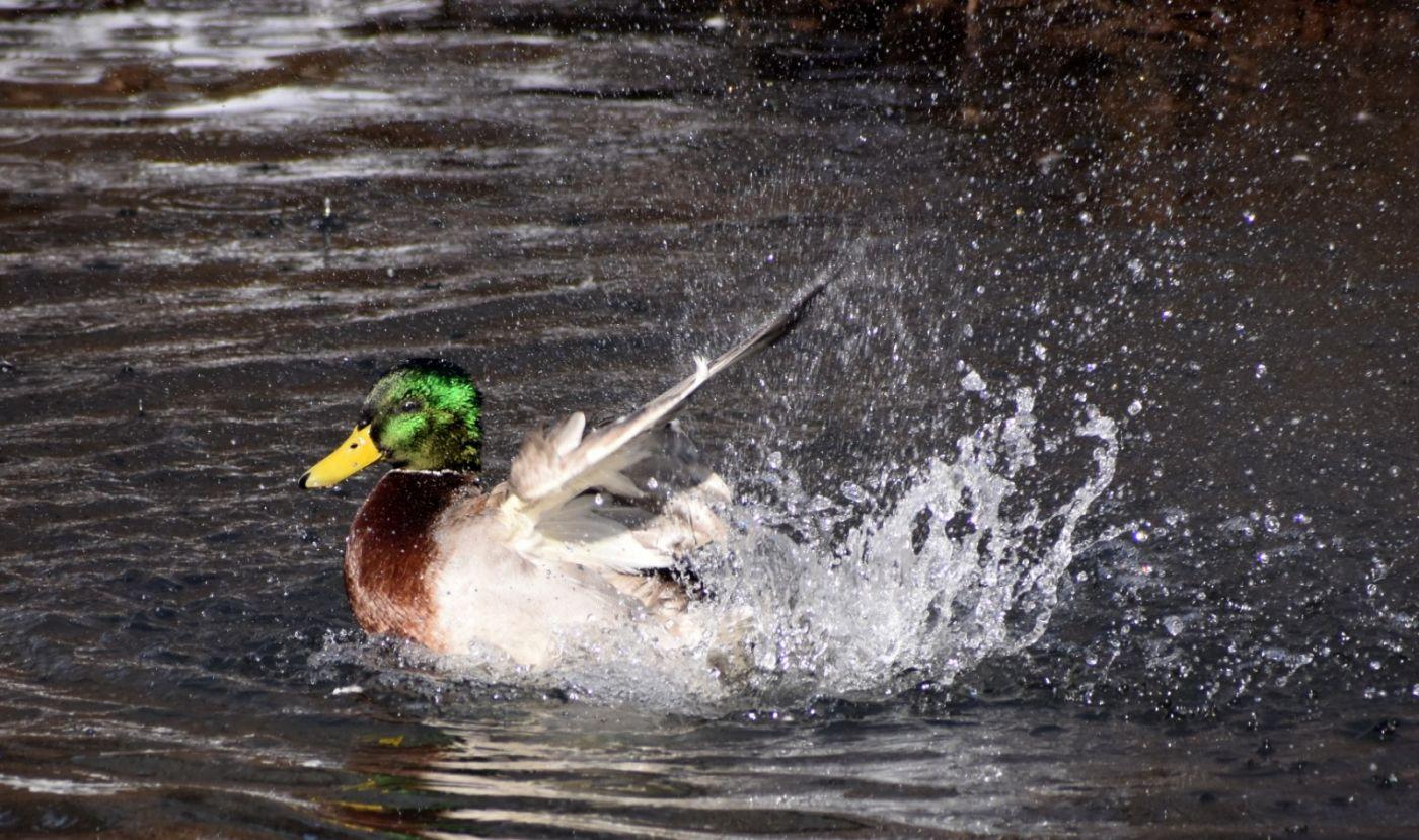 绿头鸭_图1-9