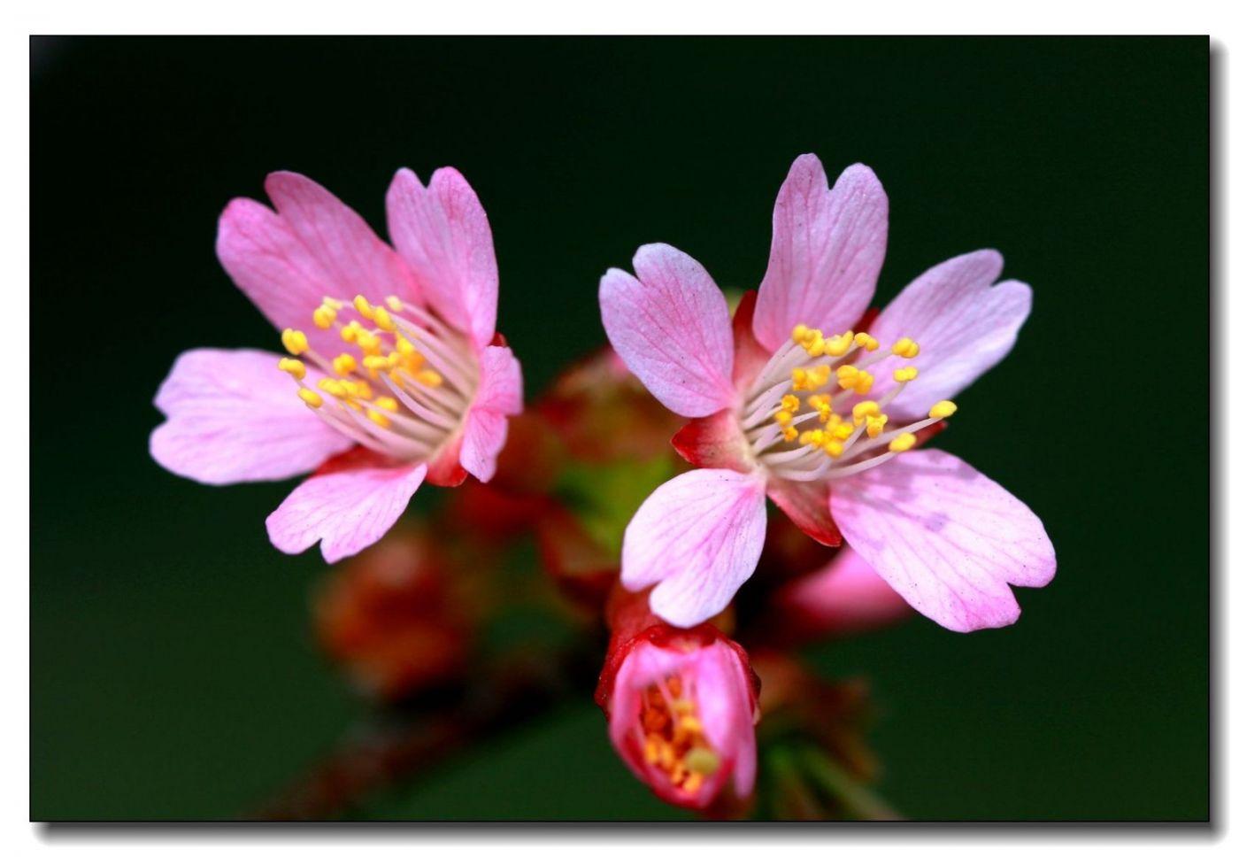 纽约早樱花已开满枝头_图1-2