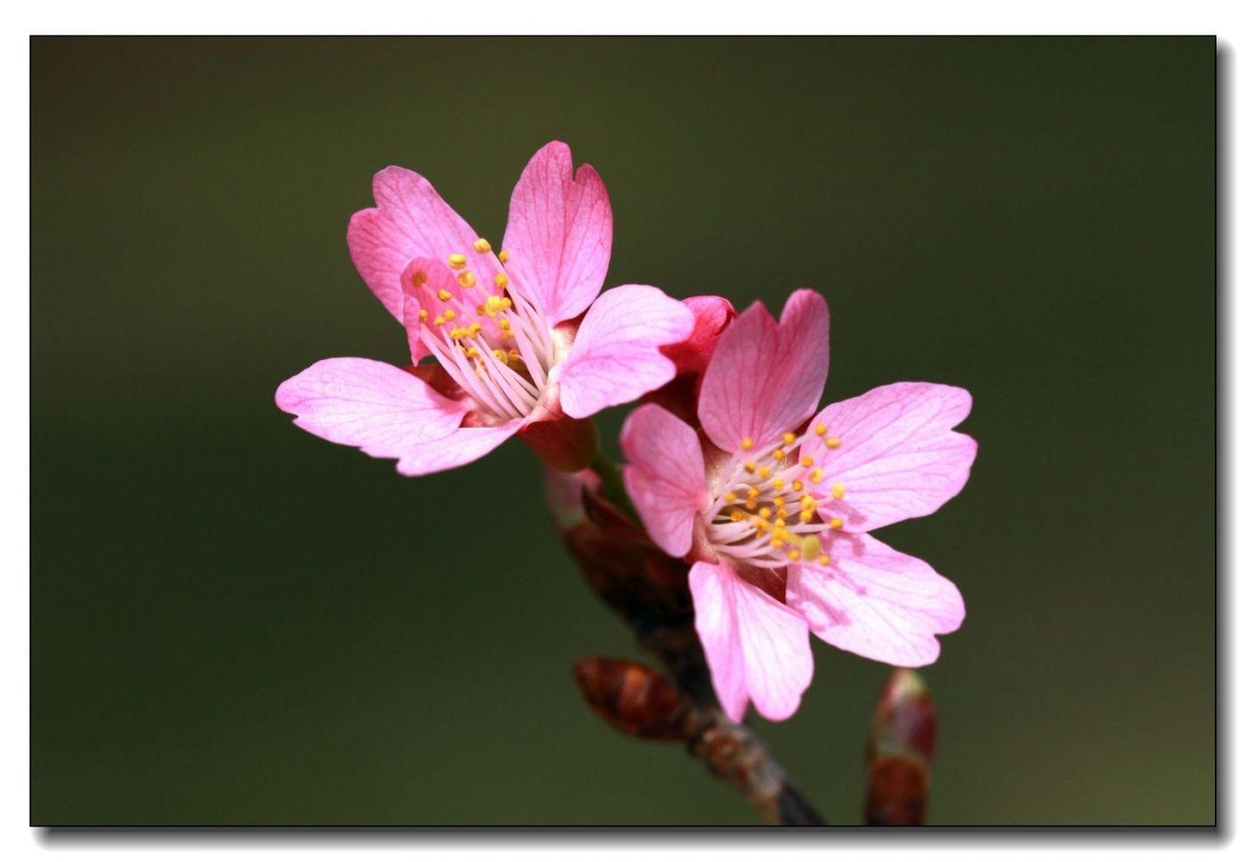 纽约早樱花已开满枝头_图1-5