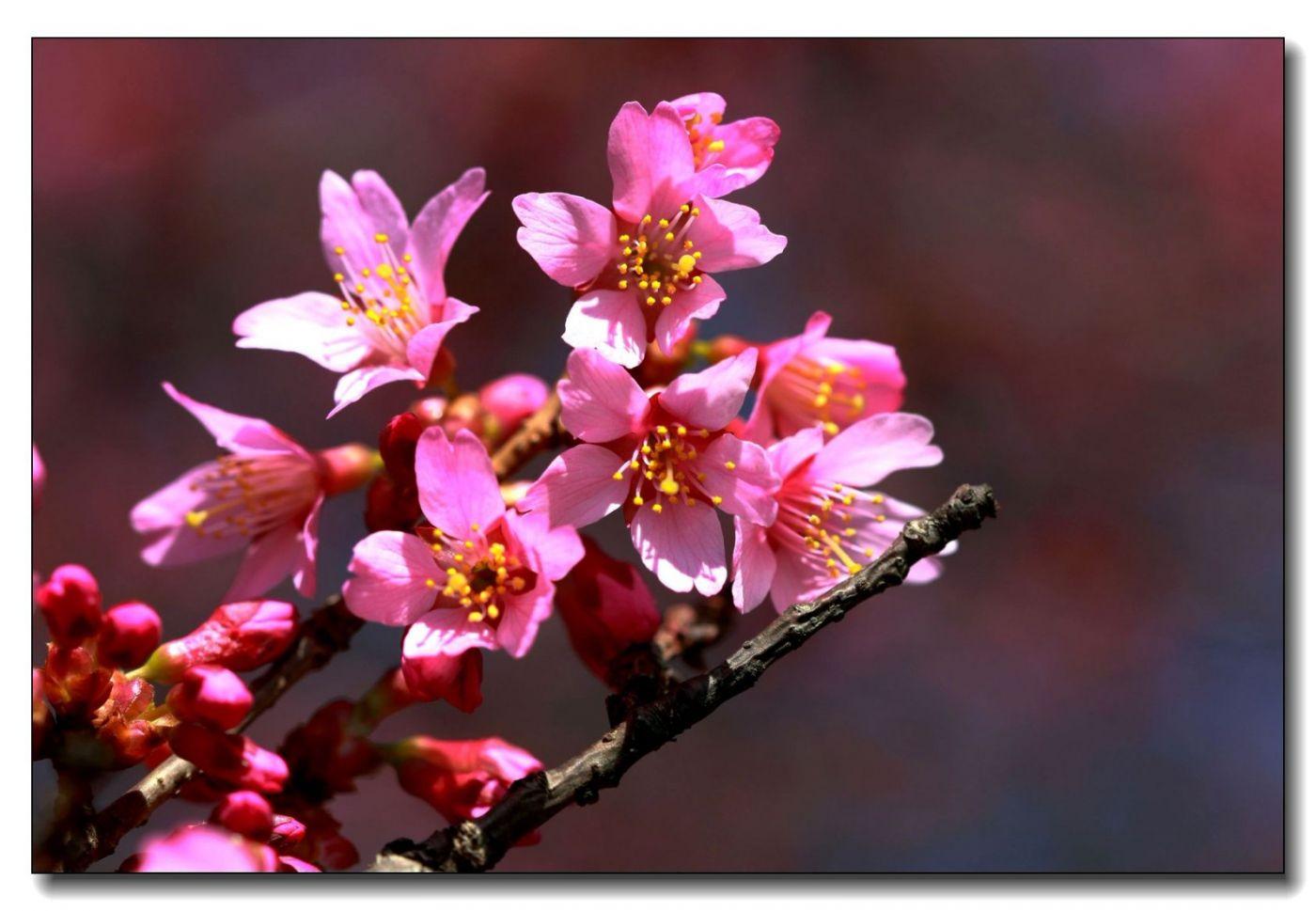 纽约早樱花已开满枝头_图1-11