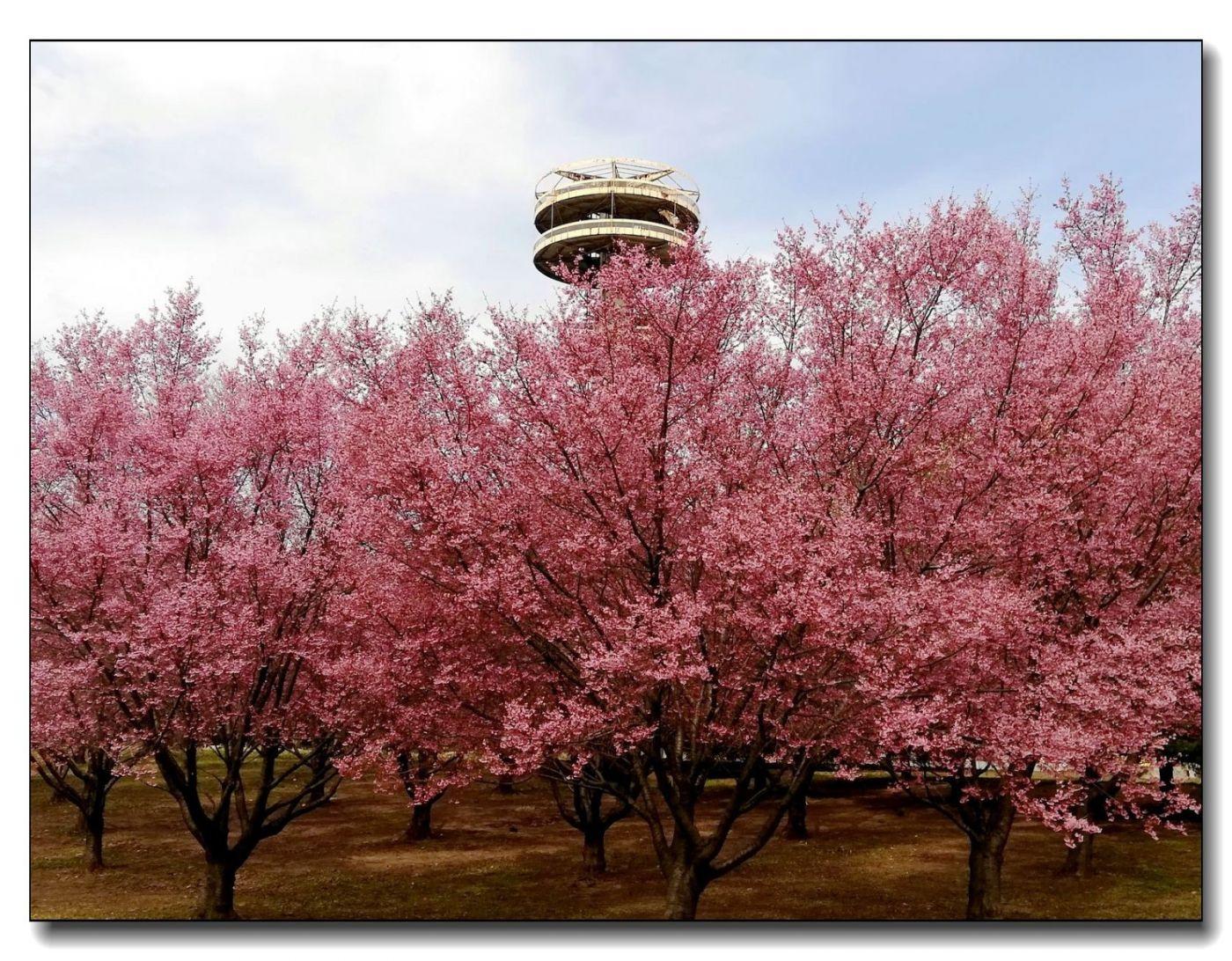 纽约早樱花已开满枝头_图1-8
