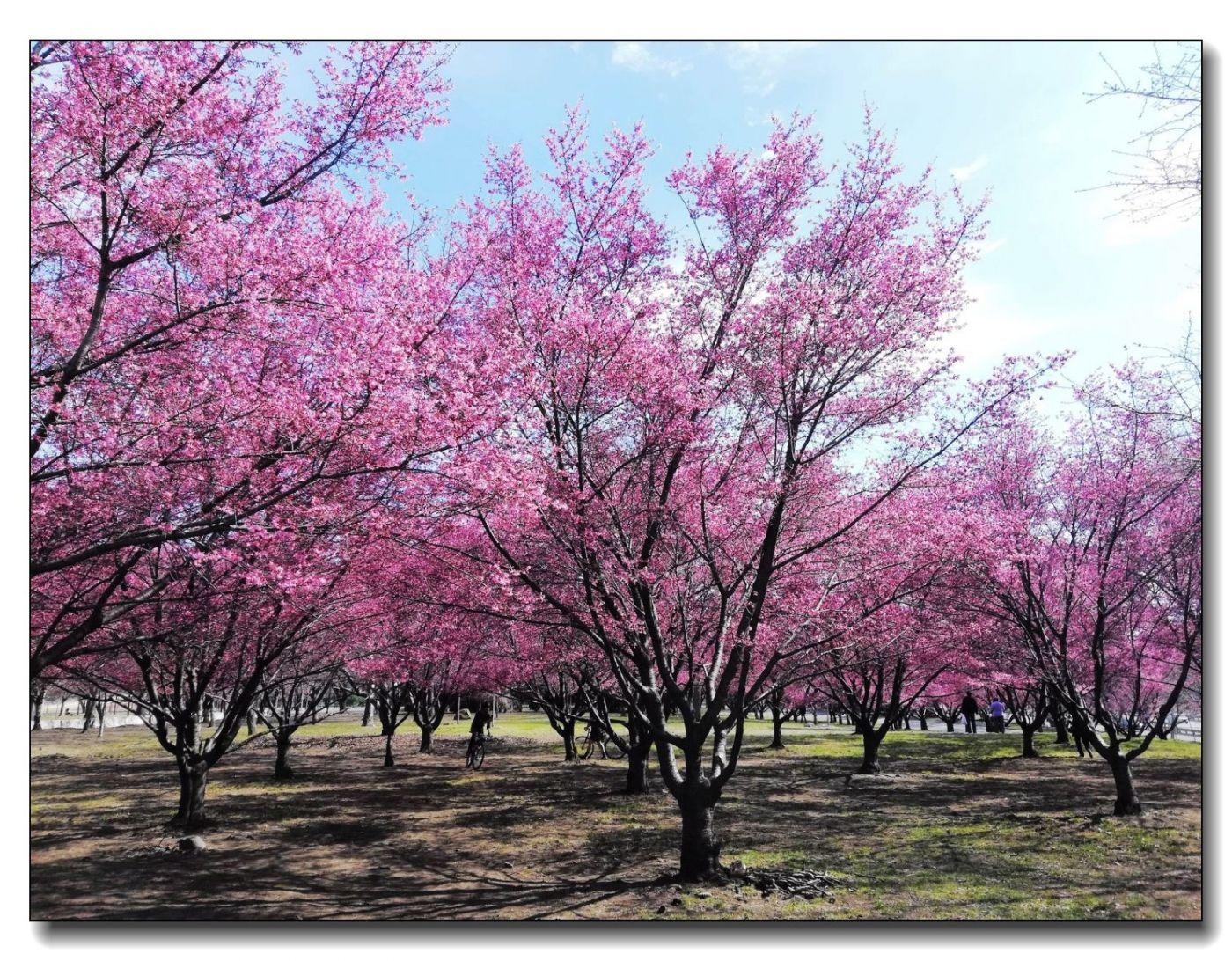 纽约早樱花已开满枝头_图1-9