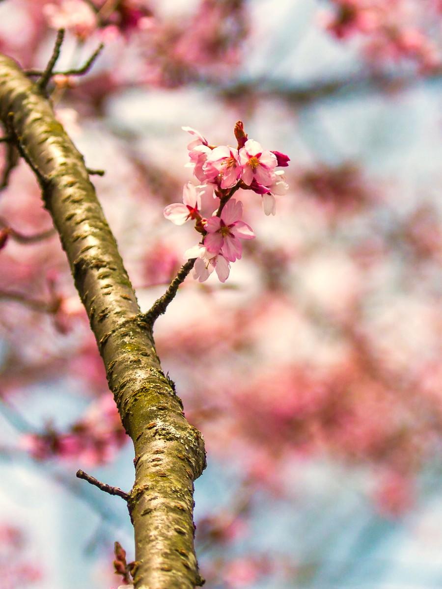 樱花开满枝_图1-6