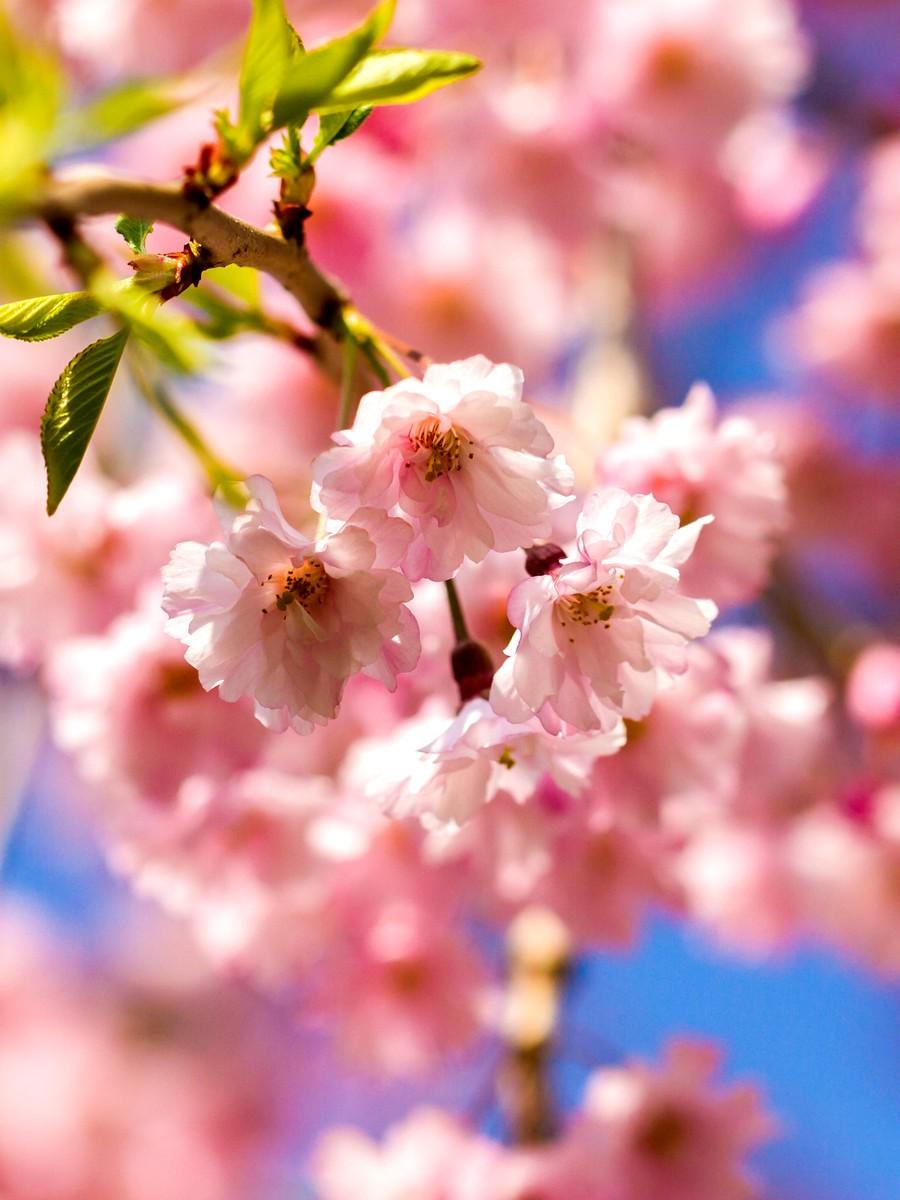 樱花开满枝_图1-7