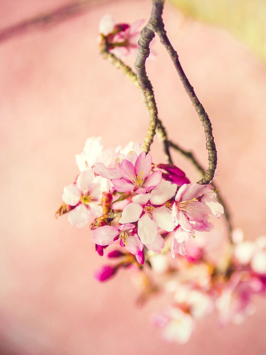 樱花开满枝_图1-4