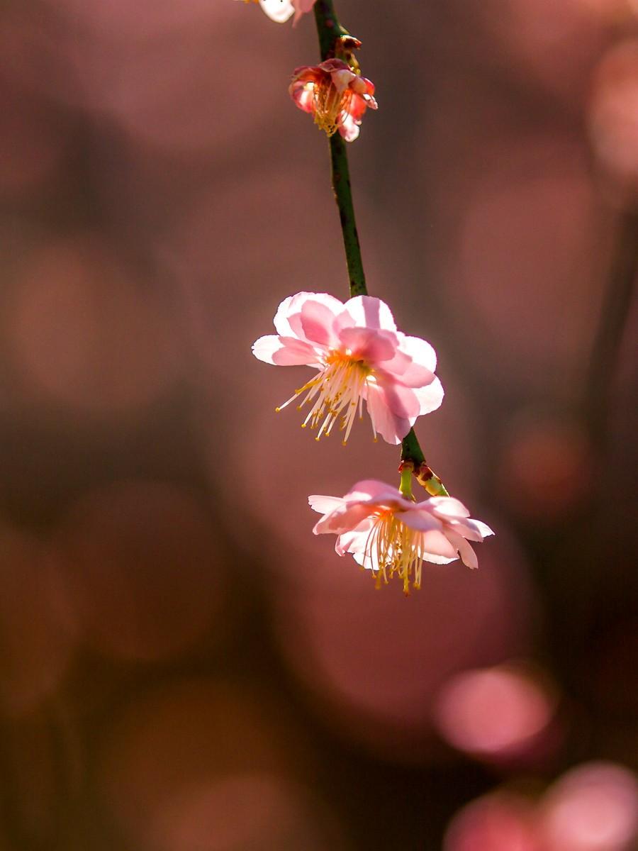 樱花开满枝_图1-1