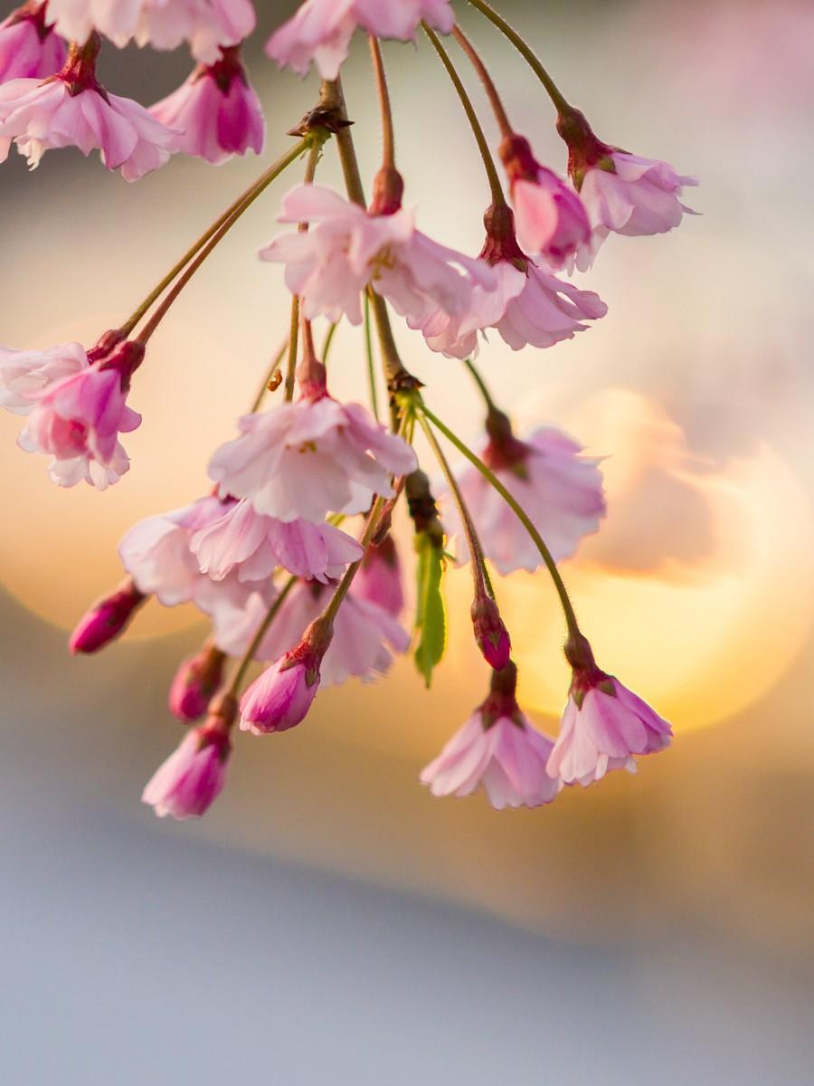 樱花开满枝_图1-2