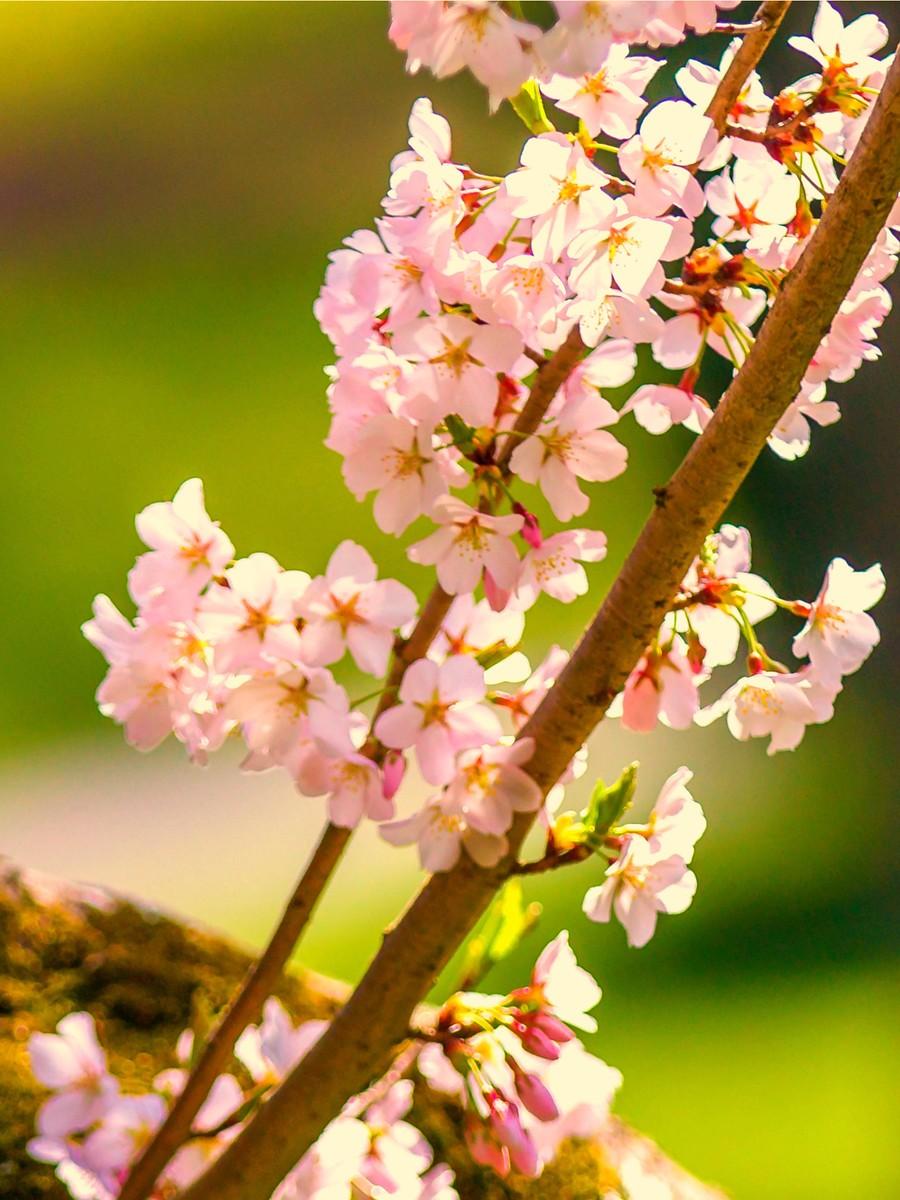 樱花开满枝_图1-8