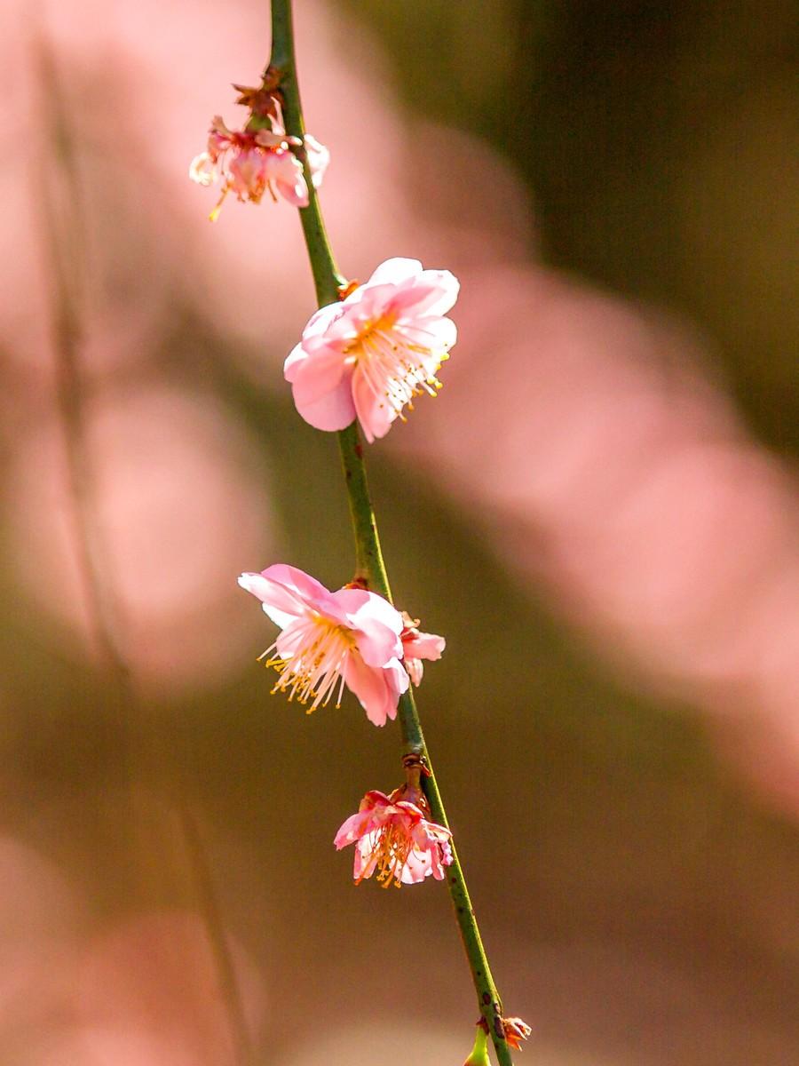 樱花开满枝_图1-5