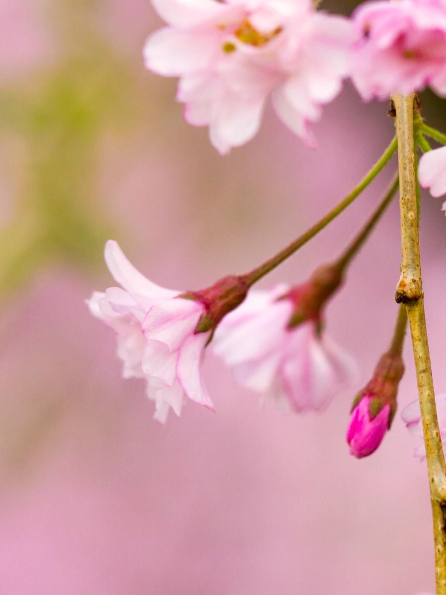 樱花开满枝_图1-9
