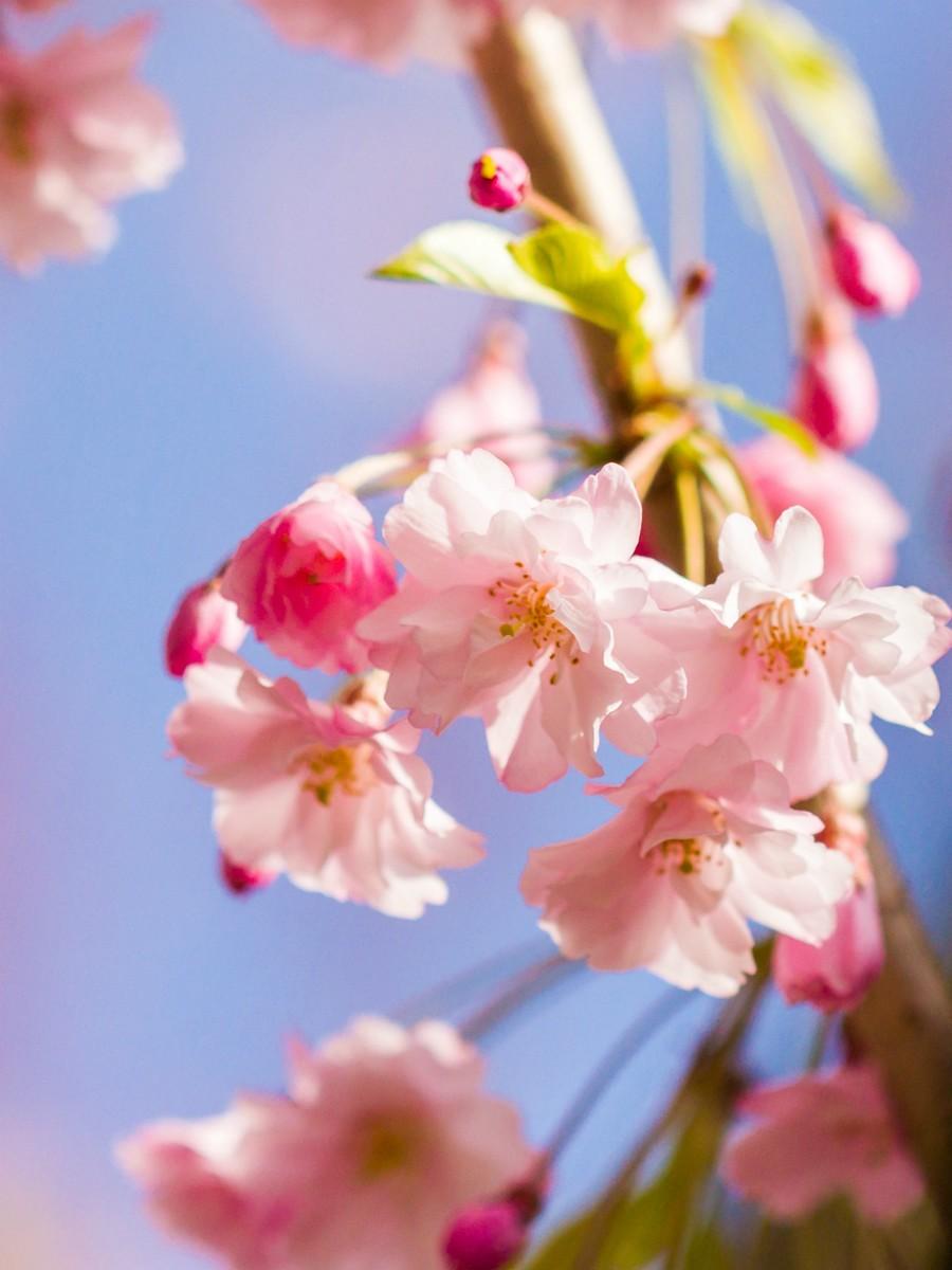 樱花开满枝_图1-11