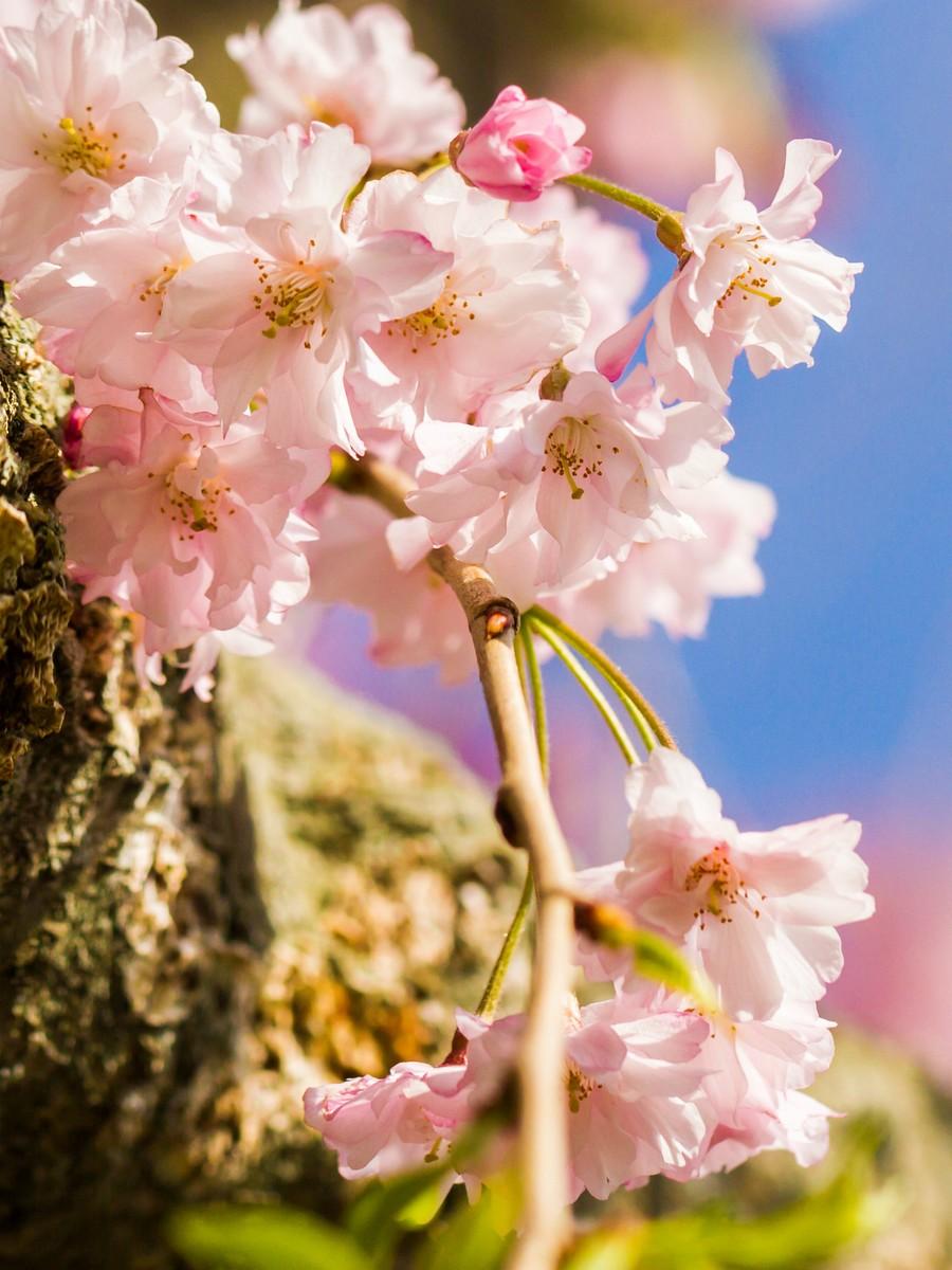 樱花开满枝_图1-10
