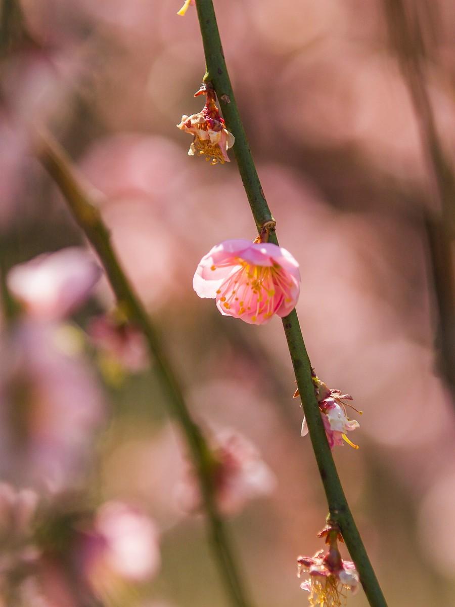 樱花开满枝_图1-15