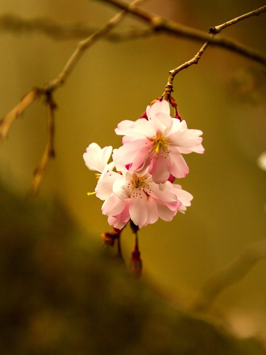 樱花开满枝_图1-14