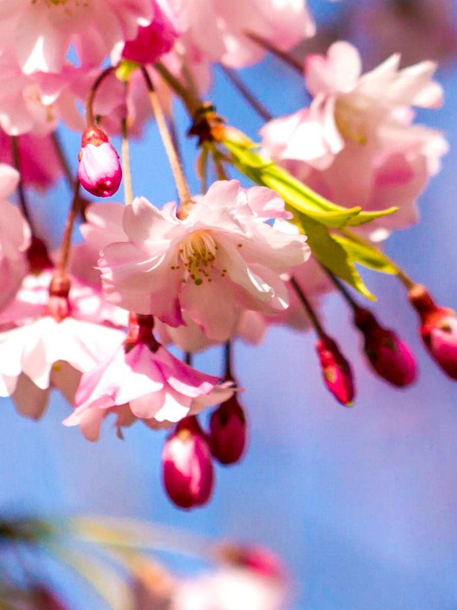 樱花开满枝_图1-13