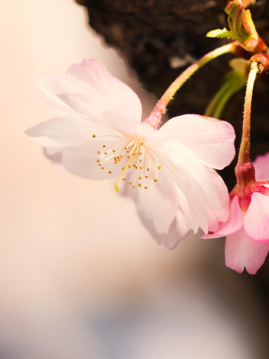 樱花开满枝_图1-16