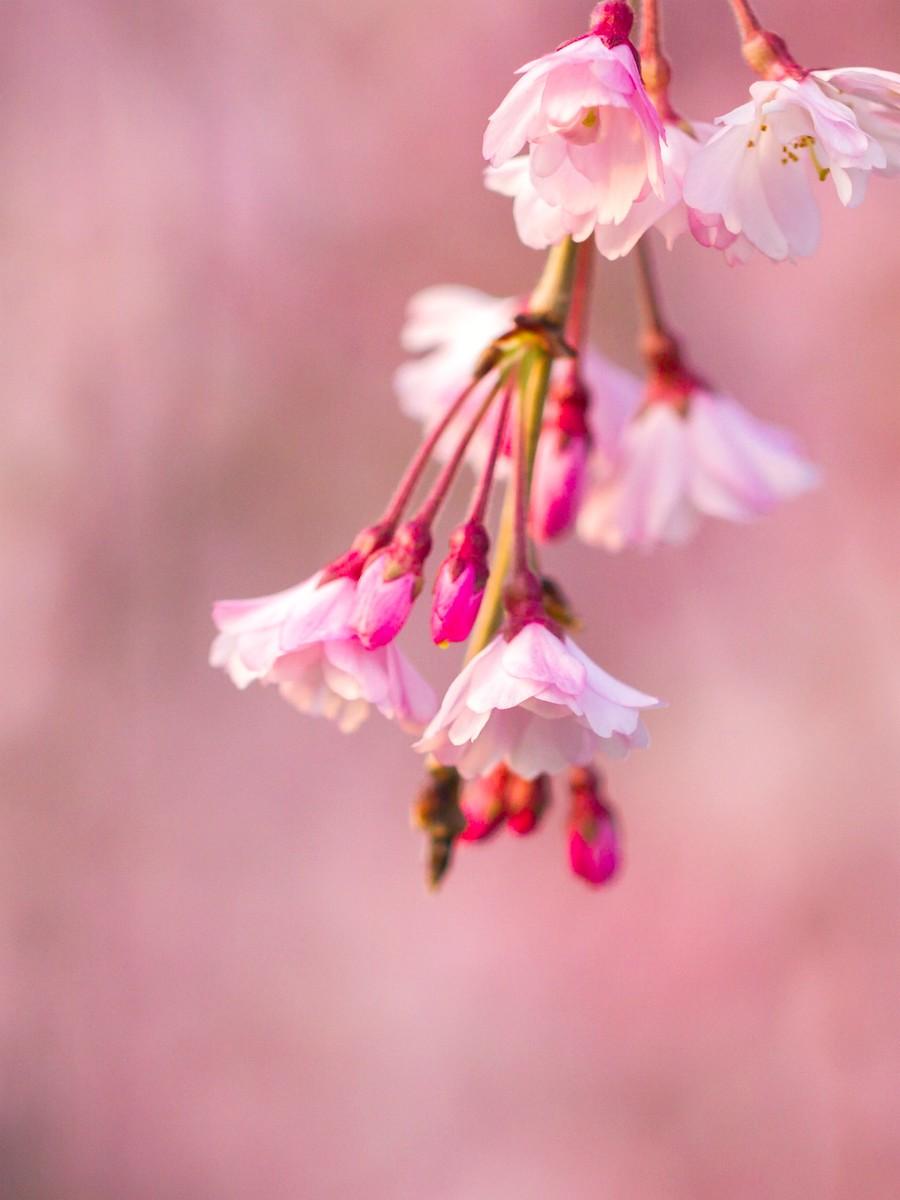 樱花开满枝_图1-17