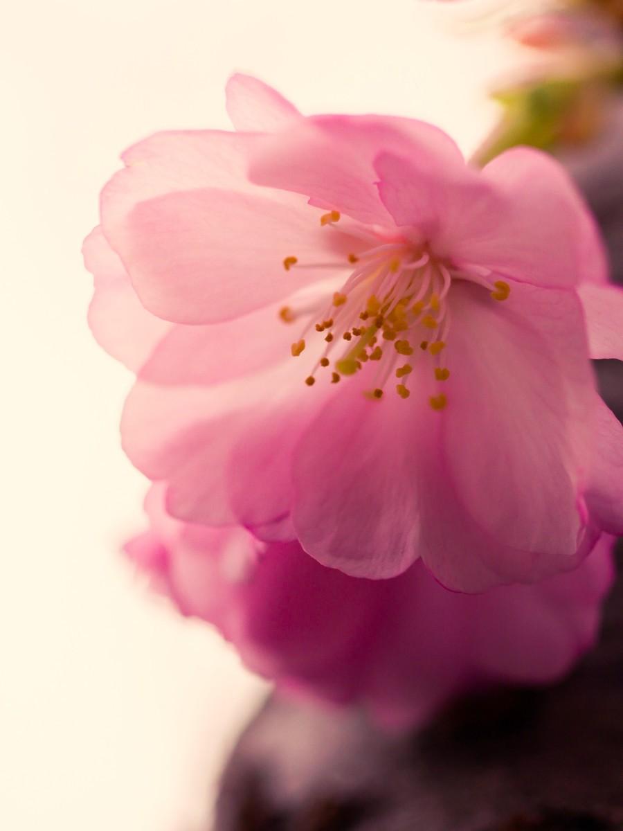 樱花开满枝_图1-22