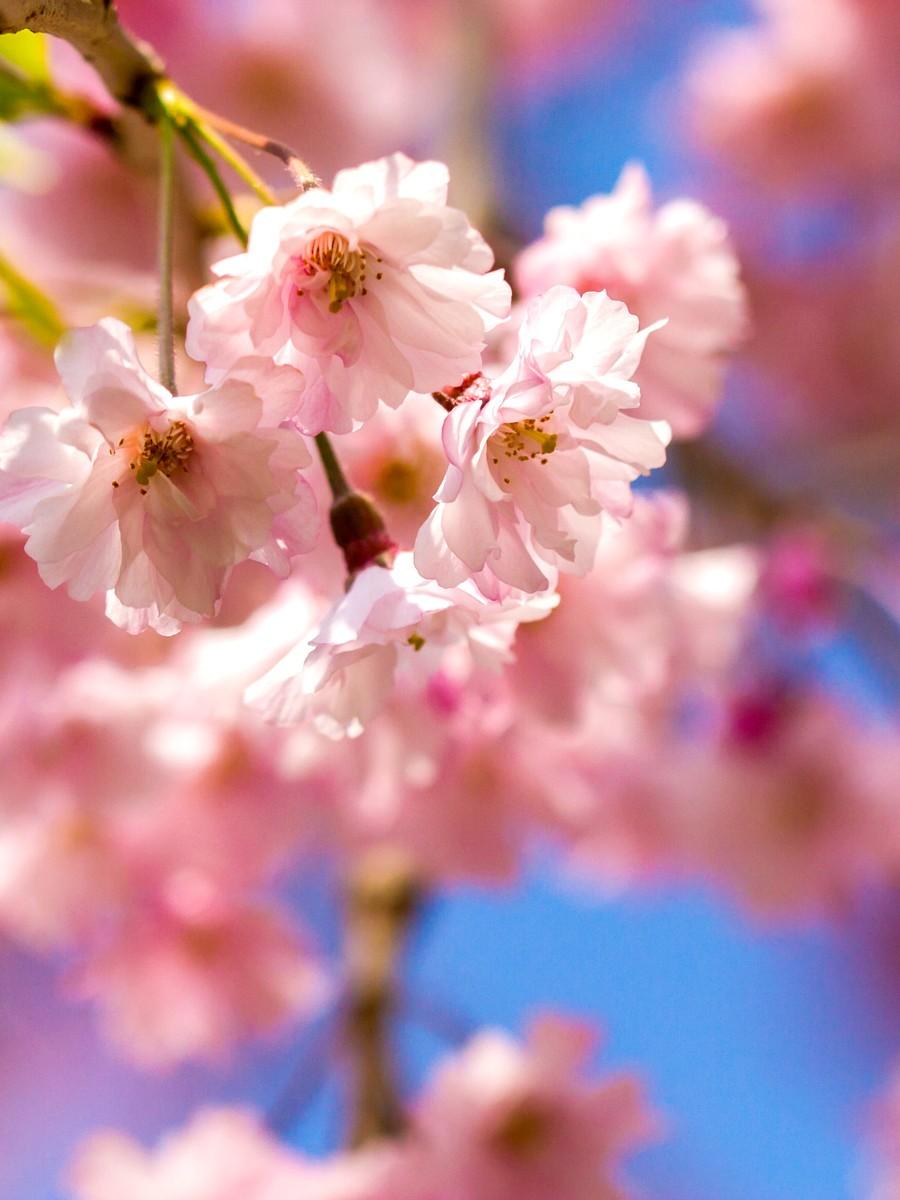 樱花开满枝_图1-21
