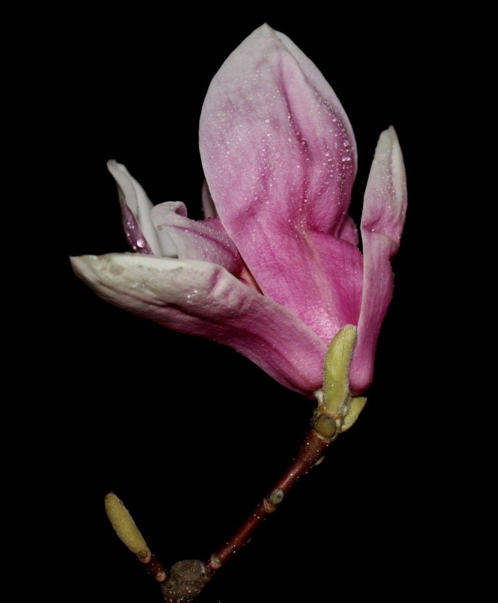 再拍紫玉兰_图1-6