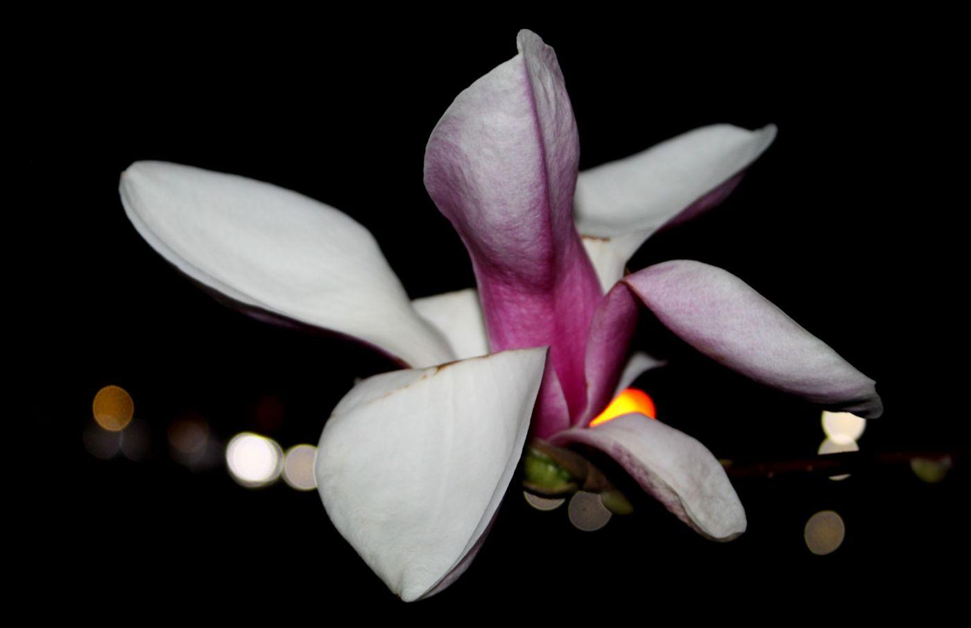 再拍紫玉兰_图1-9