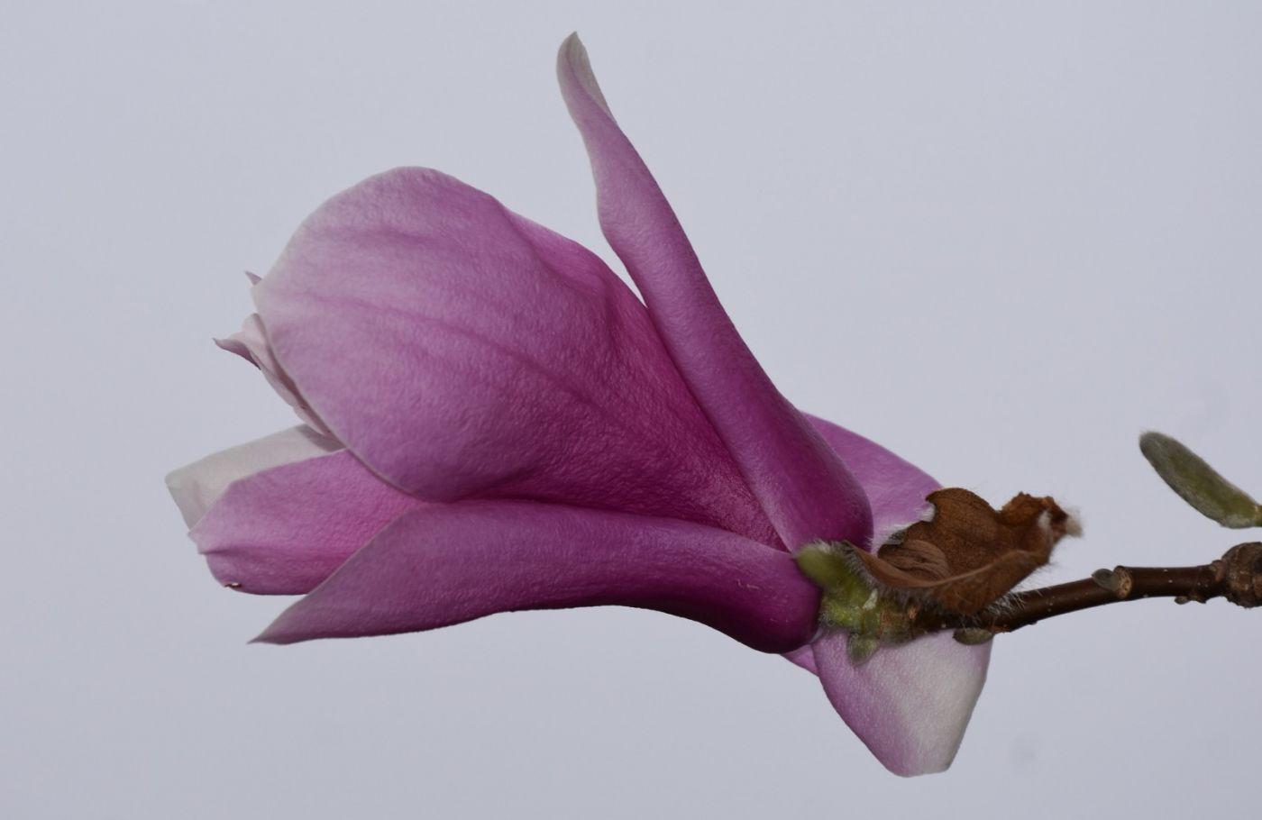 再拍紫玉兰_图1-10