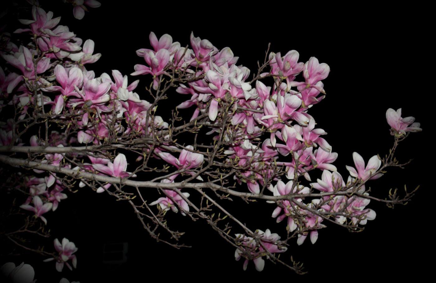 再拍紫玉兰_图1-25