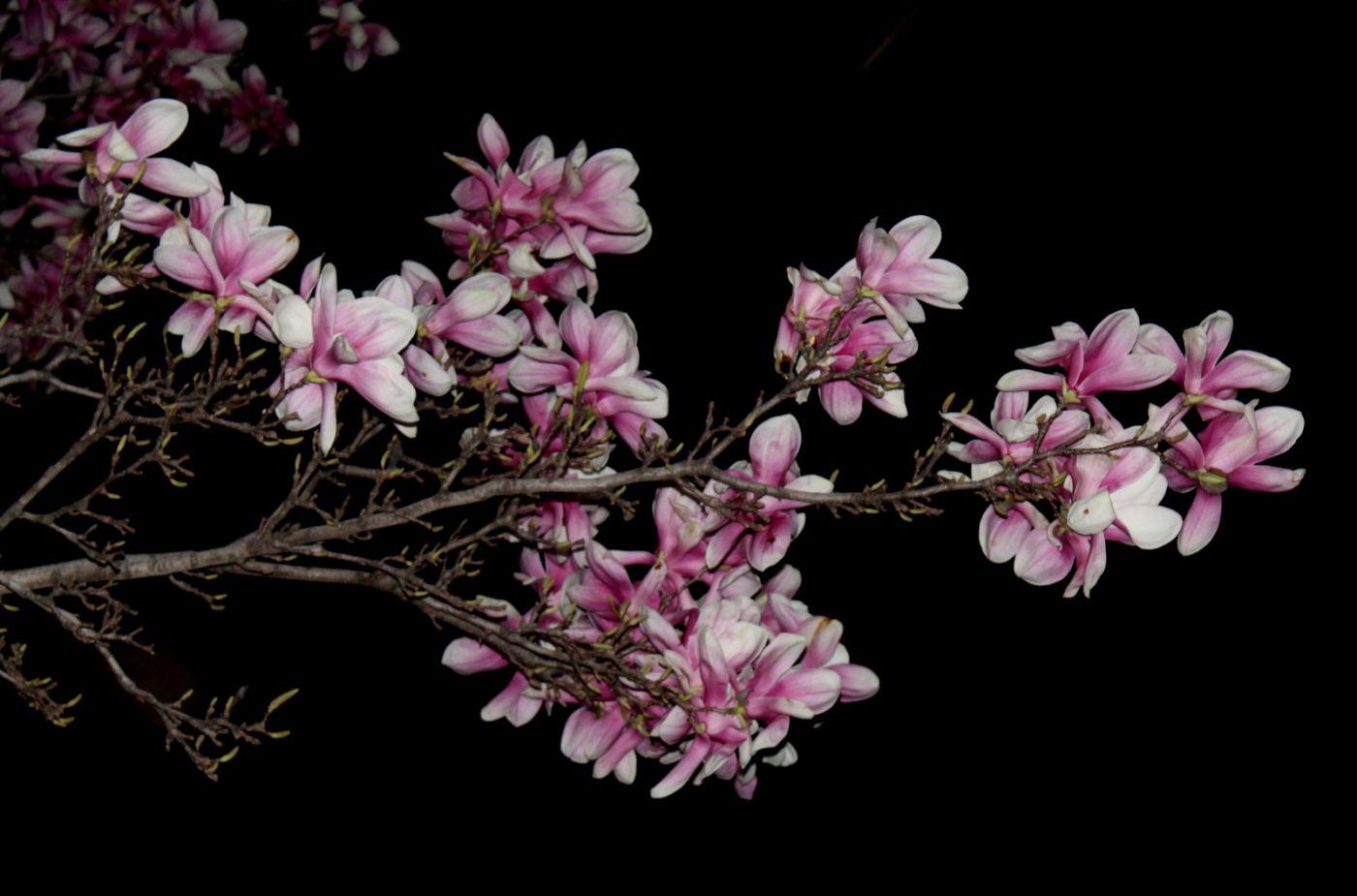 再拍紫玉兰_图1-26