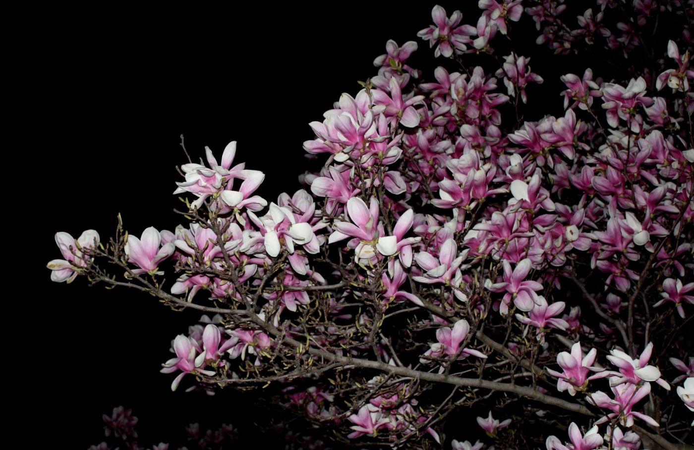 再拍紫玉兰_图1-29