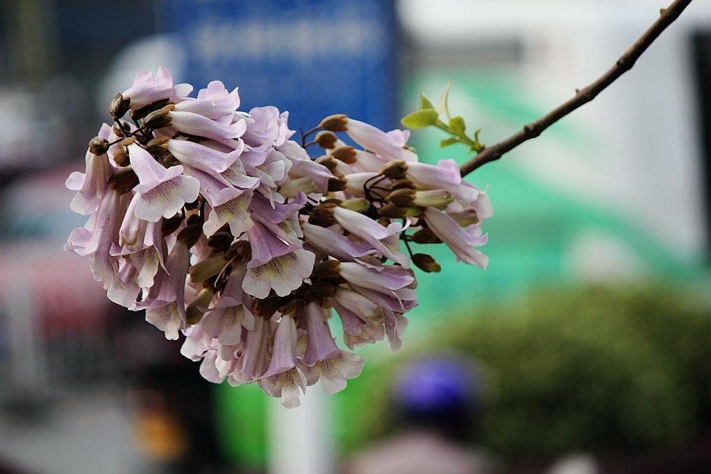泡桐花语_图1-8