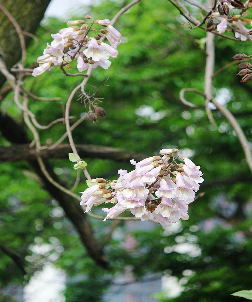 泡桐花语_图1-10