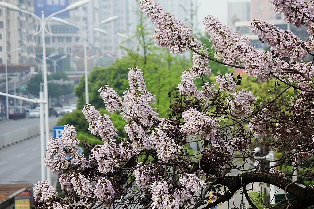 泡桐花语_图1-17