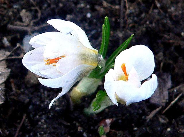 番红花,水仙正盛开_图1-2