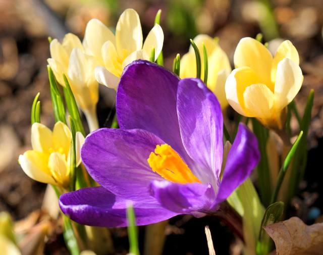 番红花,水仙正盛开_图1-5