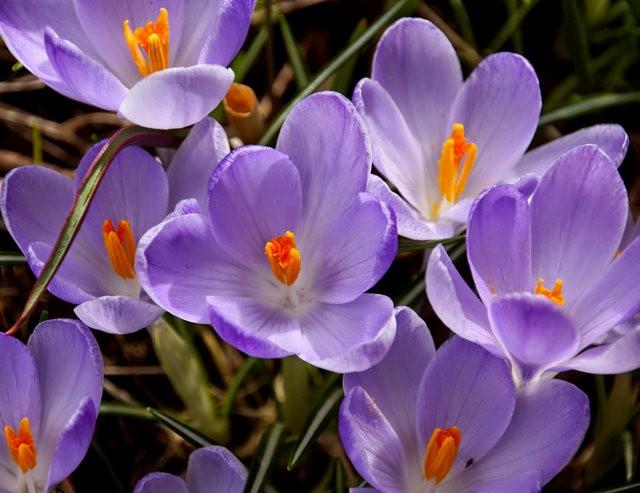 番红花,水仙正盛开_图1-6