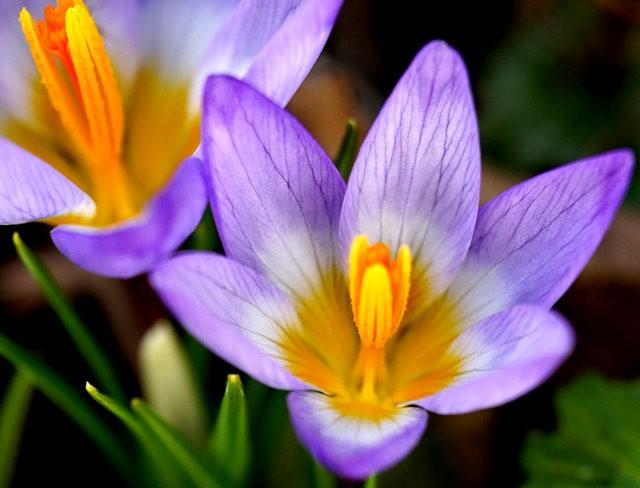 番红花,水仙正盛开_图1-7