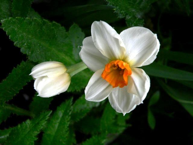 番红花,水仙正盛开_图1-8