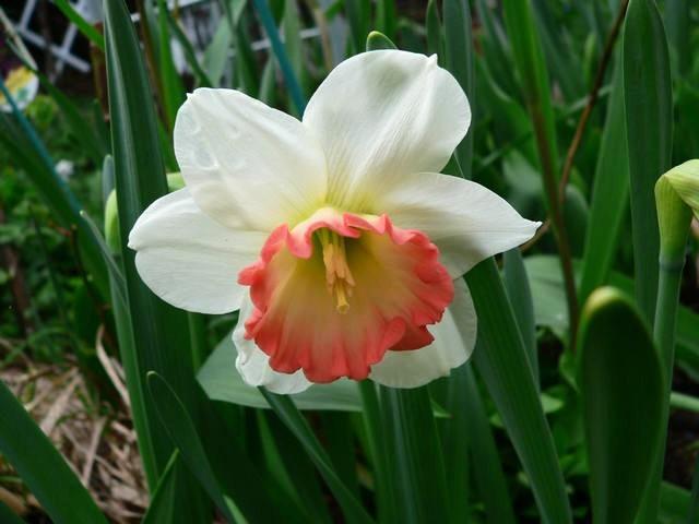 番红花,水仙正盛开_图1-9