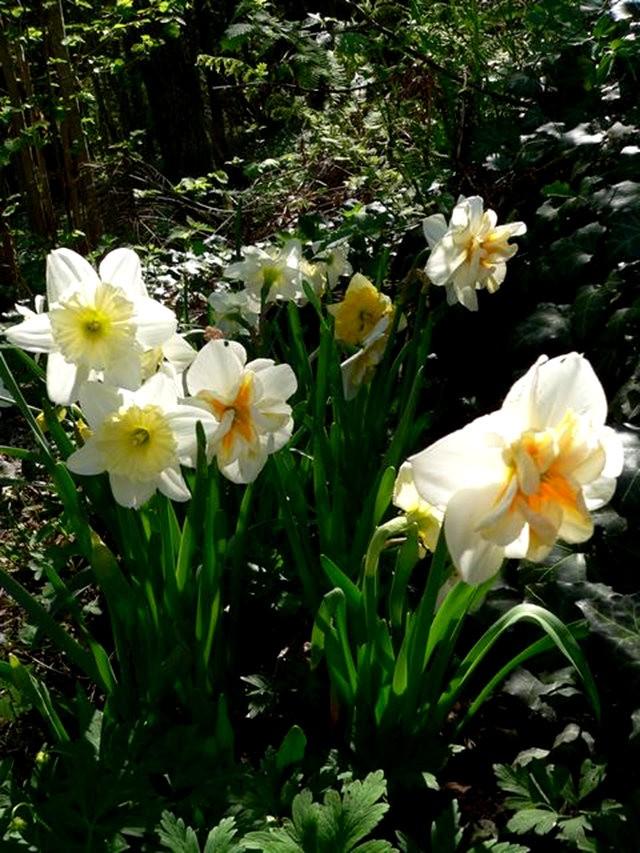 番红花,水仙正盛开_图1-13