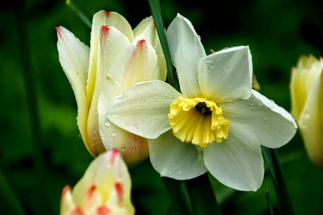 番红花,水仙正盛开_图1-16