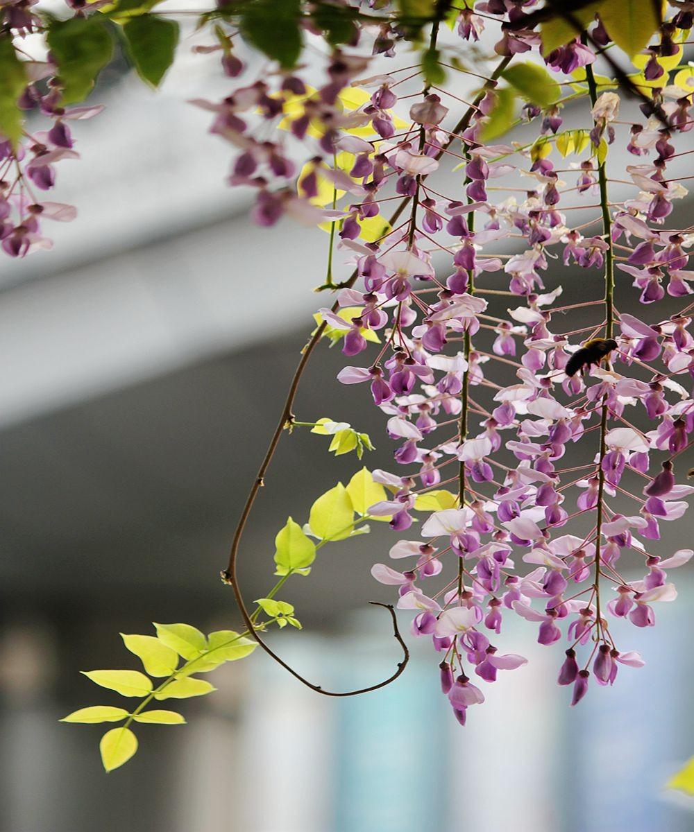紫藤挂云木  香风留美人_图1-5