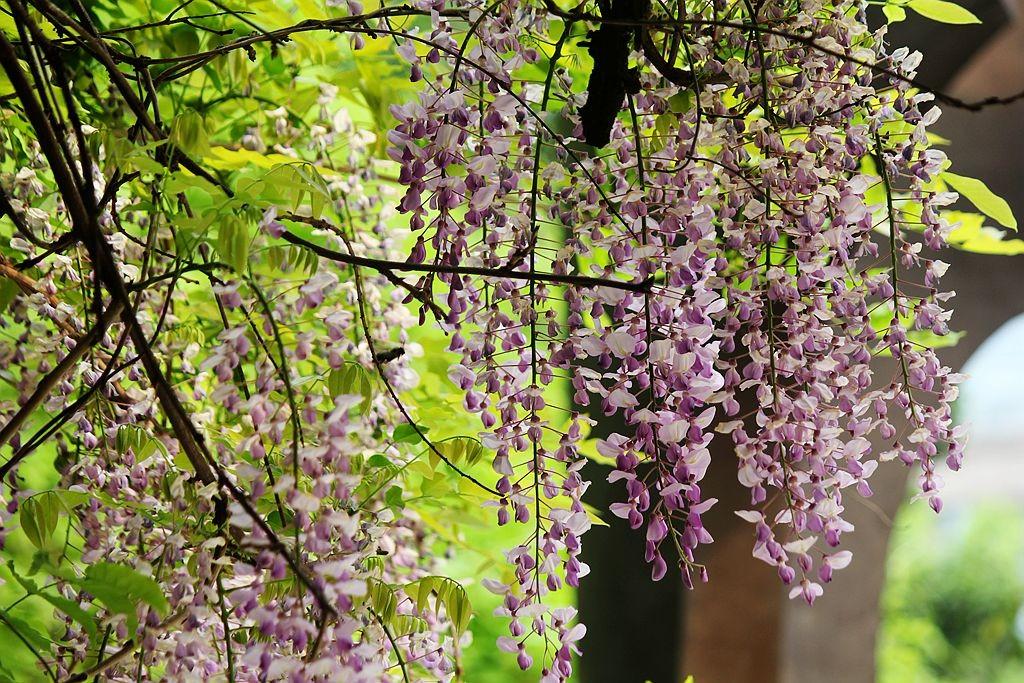 紫藤挂云木  香风留美人_图1-6